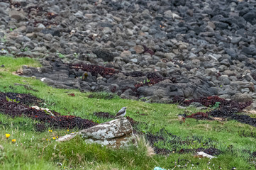 Wheatear or Oenanthe over a stone near coral beach, Isle of Skye, Scotland. Concept: animal life