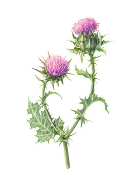 Milk Thistle Hand Drawn Pencil Illustration Isolated on White with Clipping Path
