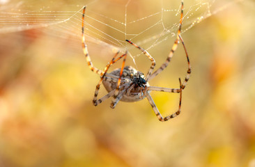 Beautiful spider feasting grasshopper on a spider web . Macro photo.