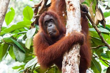 BORNEO, MALAYSIA - SEPTEMBER 6, 2014: Close-up portrait of bornean orangutan Fotomurales