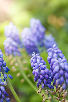 Blue grape hyacinth flowers blooming on sunny meadow