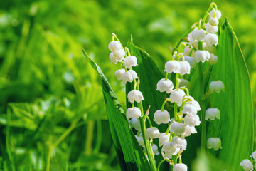 Tuinposter Lelietje van dalen Flower Spring Sun White Green Background Horizontal. Lily of the valley. Sun rays fall on beautiful spring blooming flower. Ecological background Blooming lily of the valley on green grass background.