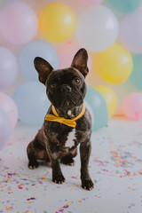 French bulldog wearing a yellow bow tie sitting in front of a ballon wall. .