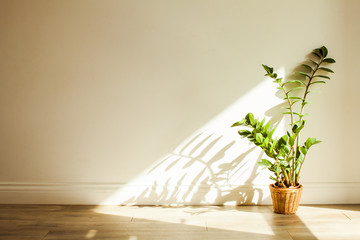 Zamioculcas bush plant in the interiour living room Wall mural