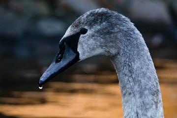 Foto op Plexiglas Zwaan portrait of a swan