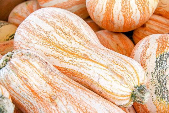 Orange and white striped Cushaw pumpkins