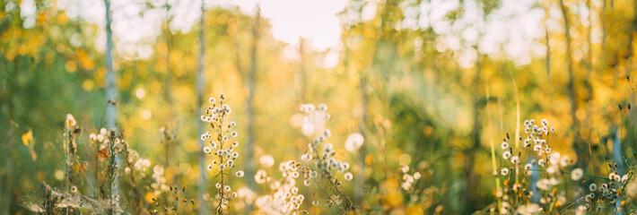 Dry Flowers Of Conyza Sumatrensis. Guernsey Fleabane, Fleabane, Tall Fleabane, Broad-leaved Fleabane, White Horseweed, And Sumatran Fleabane. Close Up Autumn Grass And Flowers In Sunset Sunrise Fotobehang