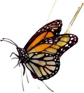 monarch butterfly in watercolor
