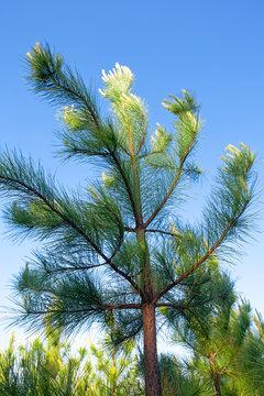 Loblolly Pine (Pinus taeda) against a bright blue sky