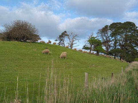 Random Sheep Paddock: Fleurieu Peninsula