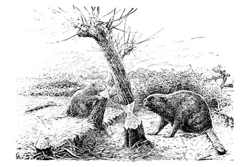 Beaver (castor fiber) - Vintage Engraved Illustration 1889