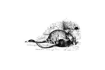 Mouse (Mus musculus) and Brown Rat (Mus Decumanus) - Vintage Engraved Illustration 1889