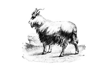Goat - Vintage Engraved Illustration 1889