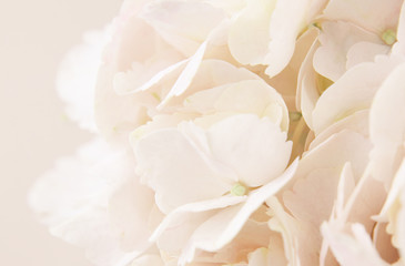 Papiers peints Hortensia Peach hydrangea flowers for background