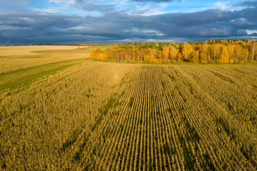 Aerial View Of An Agricultural Field With Corn In Autumn Evening