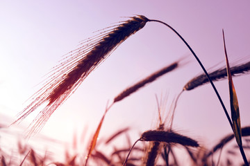 Water drops on ear of barley at sunrise. Nature background.