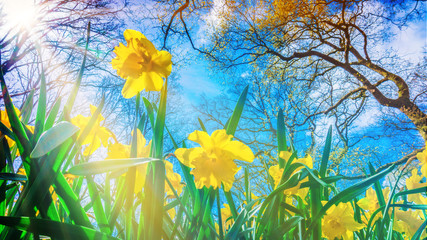 Fotorolgordijn Narcis Easter background with fresh spring flowers. Yellow narcissuses against the blue sky