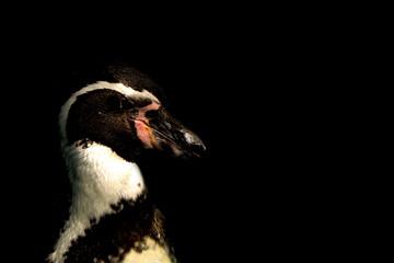 Humboldt penguin.  ペンギンのクローズアップ   フンボルトペンギン