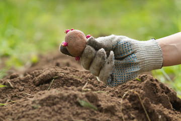 seed potatoes is in the hand of the gardener