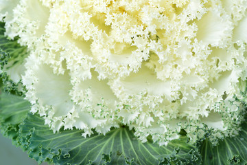 Close-up and background of a white cabbage with brilliant leaves and green background with space for text