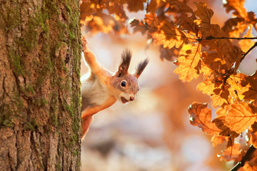 Foto op Aluminium Eekhoorn cute portrait with a beautiful fluffy red squirrel peeking out from behind the trunk of an oak with bright Golden foliage in a Sunny autumn Park