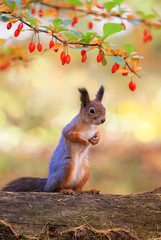 cute portrait with a beautiful fluffy red squirrel sitting in an autumn Sunny garden under a branch with barberry berries