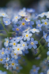 Fototapeta Close up of little blue flowers forget-me-not