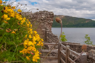 Yellow flowers with the ruins of Urquhart Castle and Loch Ness behind. Concept: Scottish historic sites, archaeological sites, Scottish nature colors