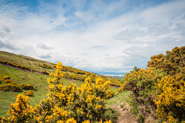 Bushes of Ulex Europaeus, also known as Gorse, in bloom, with a path crossed by people in the background, Scotland