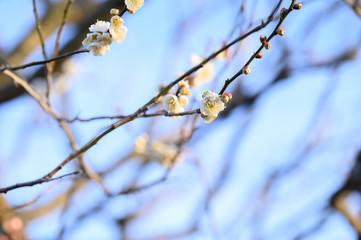 余寒見舞いにも 白い梅の花