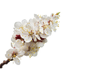 Fototapete - blossoming apricot branch isolated on white background