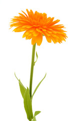 Calendula officinalis. Marigold flower with leaf isolated on white background.