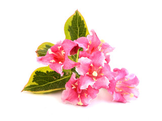 Weigela nana variegata, branch with flowers isolated on white background.
