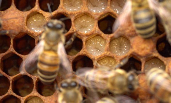 Honeybee life: views of larvae, capped brood, pollen and eggs. Caring For Brood. Close-up views of honeycomb
