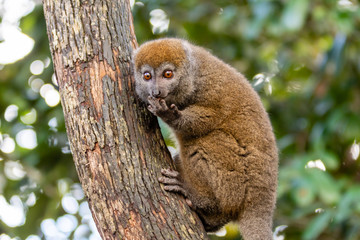 Foto auf Acrylglas Affe Golden bamboo lemur on a tree