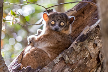 Fotorollo Affe Sportive lemur resting in a hollowed out tree