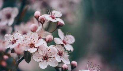 Closeup of spring blossom flower on dark bokeh background.