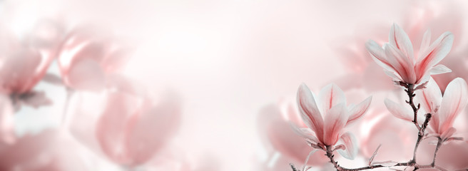 Closeup of blooming magnolia tree in spring on pastel bokeh background.