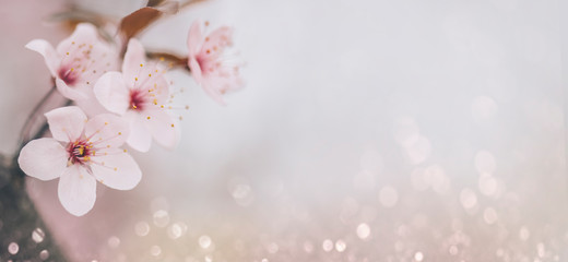 Closeup of cherry blossom flower on bokeh pastel background. Macro blooming orchard in spring.