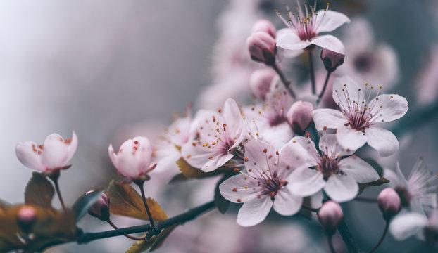 Closeup of spring blossom flower on dark bokeh background. Macro cherry blossom tree branch