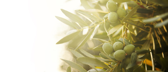 Ingelijste posters Olijfboom Closeup of olive fruit on tree branch.