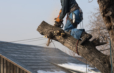 professional arborist with a chainsaw on a tree