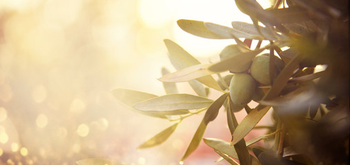 Ingelijste posters Olijfboom Closeup of olive fruit on tree branch. Olive garden and sunlight background design.