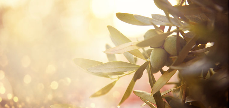 Closeup of olive fruit on tree branch. Olive garden and sunlight background design.