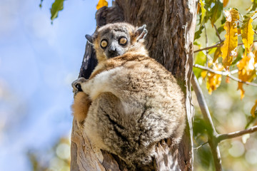 Printed roller blinds Monkey Sportive lemur resting in a tree-2