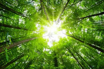 Fototapeten Pistazie Wide-angle canopy shot in a beautiful green forest