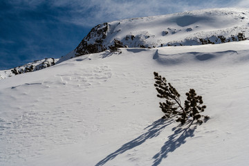 A top of pine tree above the deep snow