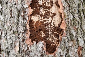 Borkenkäfer an totem Baum Fichte