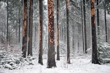 absterbender Wald durch den Borkenkäfer