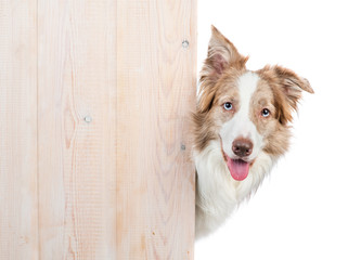 Border collie looks from behind empty wooden boards. Empty space for text. Isolated on white background